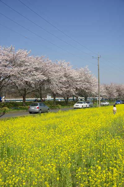 sakura_gakobashi2.jpg