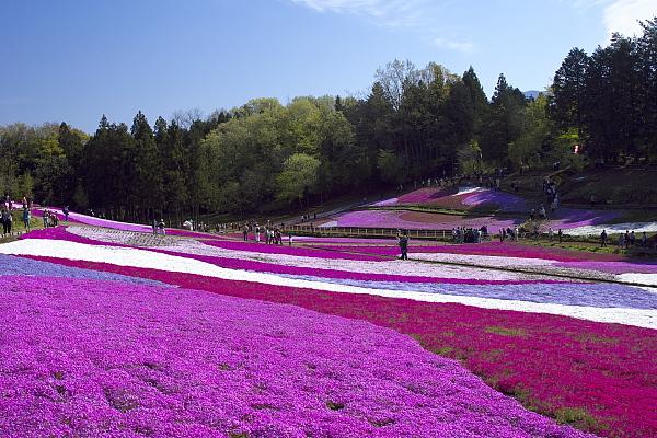 shibazakura_6052.jpg