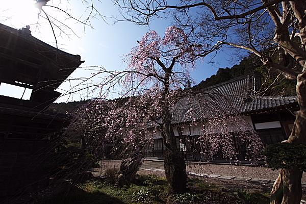shidare1_0510.jpg