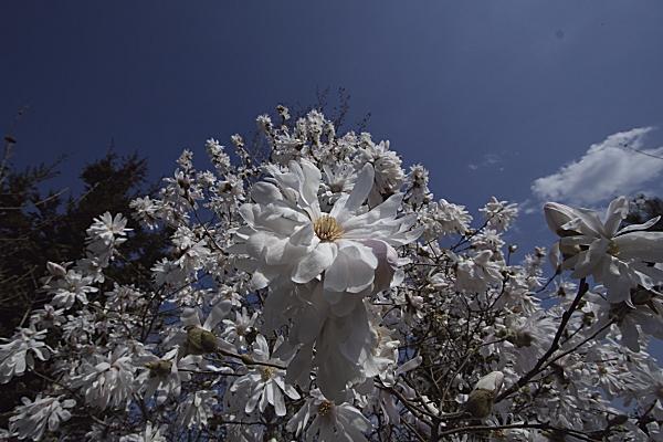 shidekobushi_0736.jpg