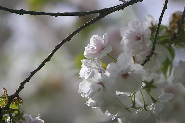 shirotae_5763.jpg