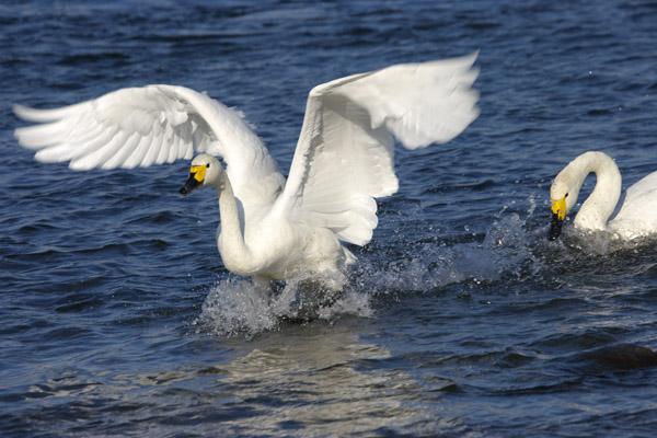 swan_1057.jpg