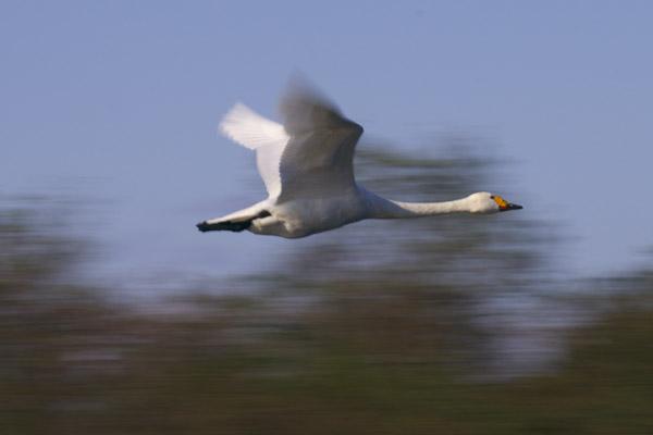 swan_1110.jpg