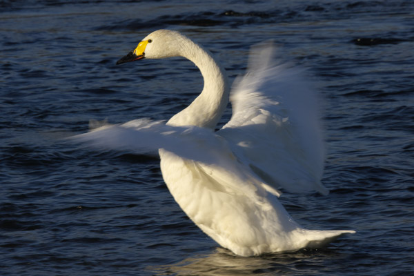 swan_1240.jpg