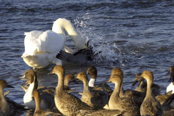 swan_1243.jpg