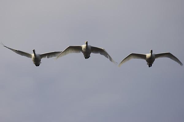 swan_2377.jpg