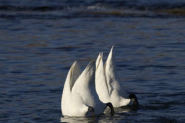 swan_2844.jpg