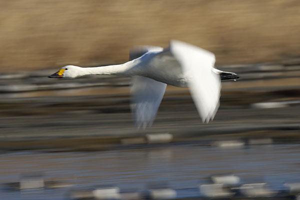 swan_3634.jpg