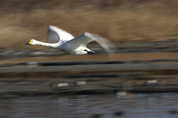 swan_3703.jpg