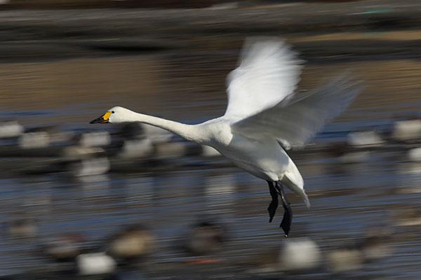 swan_3788.jpg