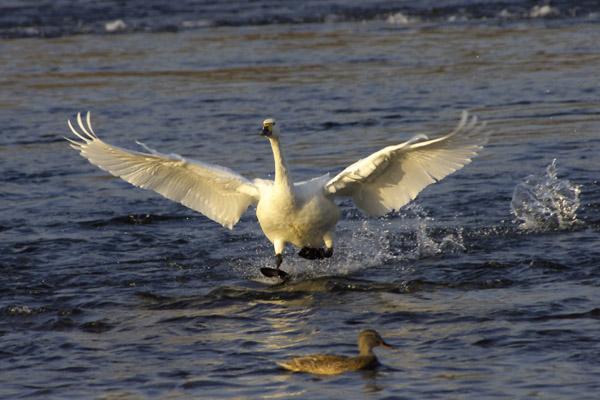 swan_4027.jpg