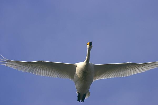 swan_4170.jpg