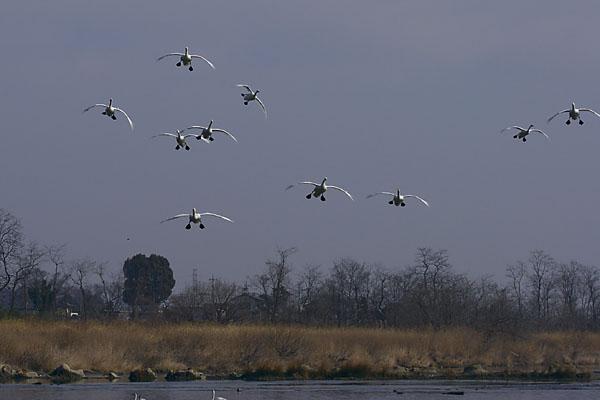 swan_4400.jpg