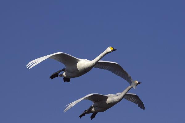 swan_5061.jpg