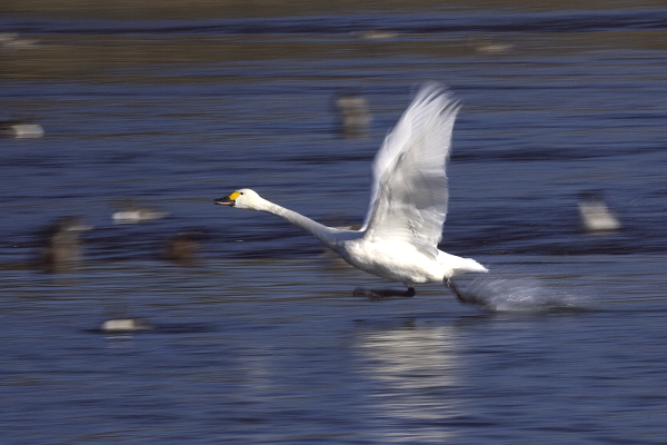 swan_5080.jpg