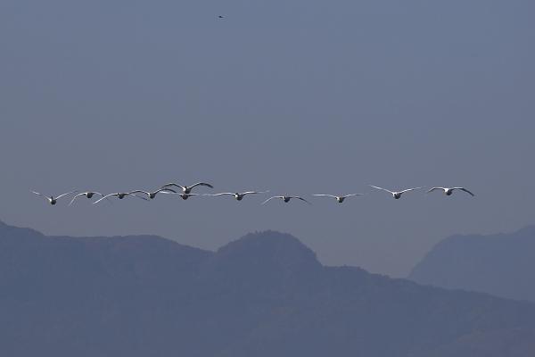 swan_5122.jpg