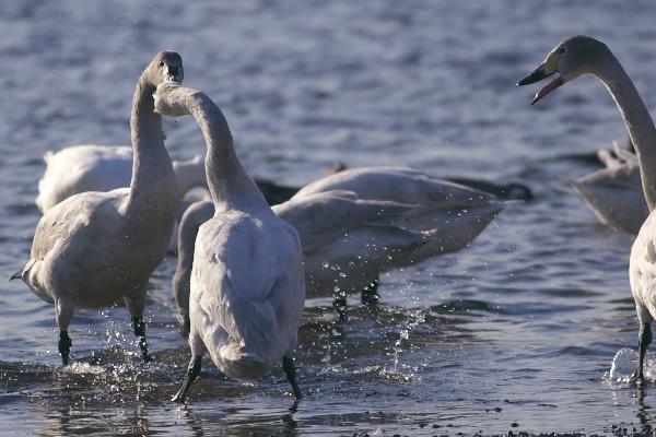swan_8153.jpg