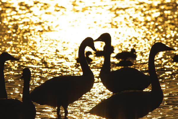 swan_8717.jpg