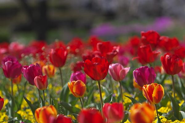tulip_1120.jpg