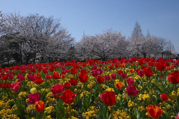 tulip_1123.jpg