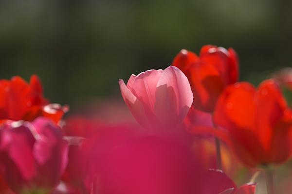tulip_1130.jpg