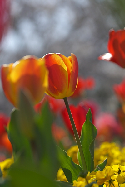 tulip_1135.jpg