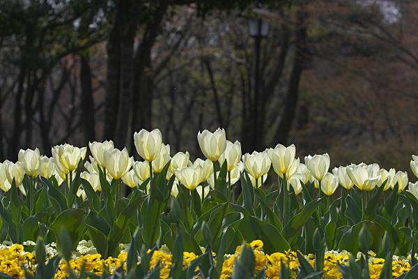 tulip_1247.jpg
