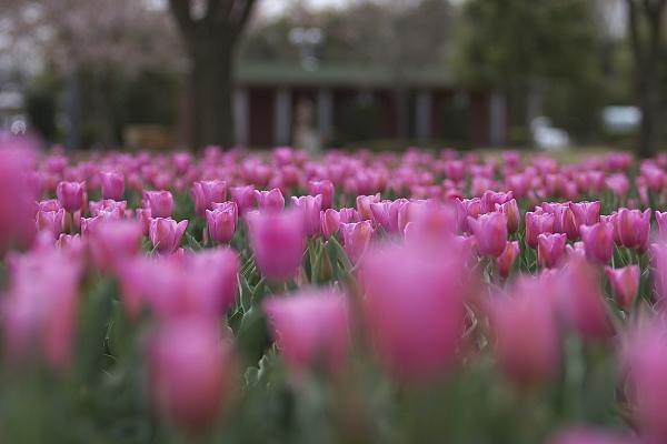 tulip_5573.jpg