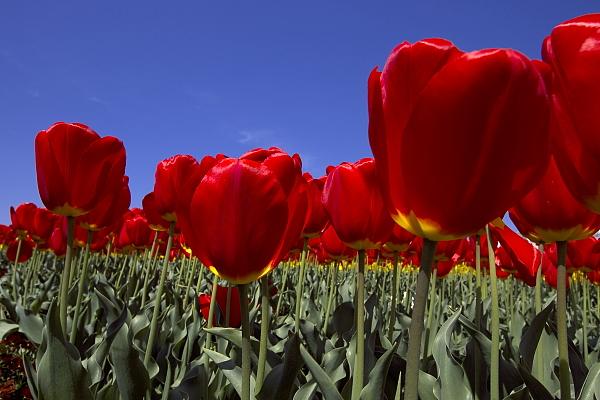 tulip_6096.jpg