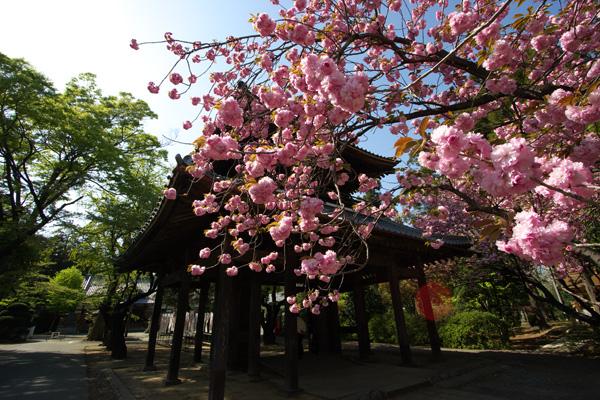 yaezakura1.jpg