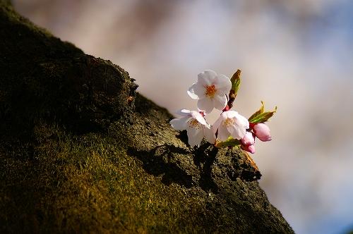 20060422_sendai_桜