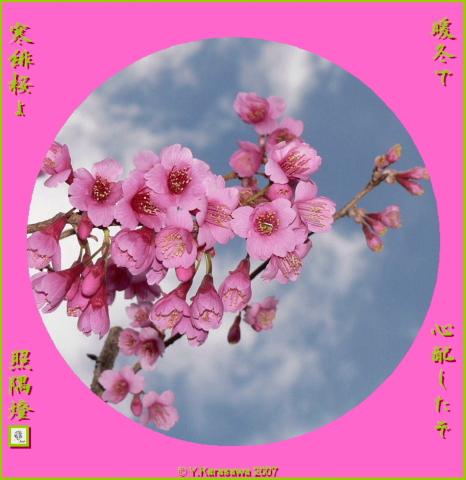 0314寒緋桜