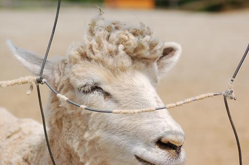 ヤンキー羊