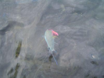 カスミアジ幼魚