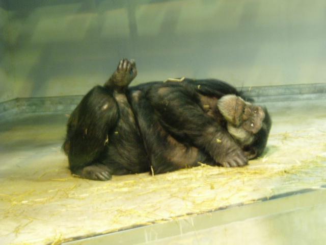 いしかわ動物園のチンパンジー