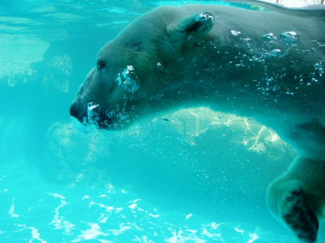 カバと共に今年新訂のIUCNのレッドリスト入りしたシロクマ(のんほいパーク極地動物館)