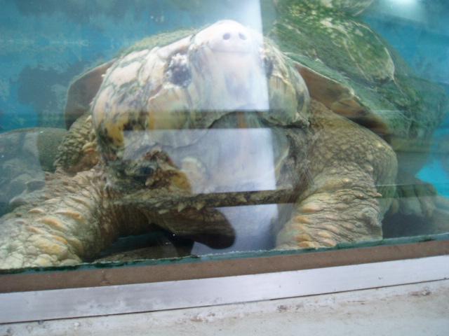 水槽狭しと機敏に動くワニガメ、80センチを越す・平川動物園