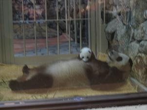 パンダ赤ちゃん
