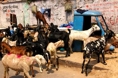 コルカタで見た山羊たちの写真