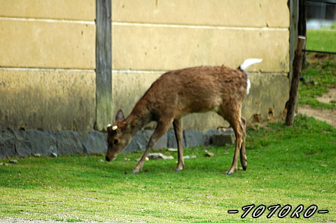 4-22nara-sika003.jpg