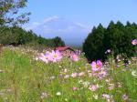 富士山とコスモスのコラボレーションは、最高に絵になります。
