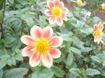 ダリアは、花びらが多いものが多いのですが、これはコスモス並み。