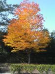 ゴルフ場前のコブシ。綺麗に紅葉してます。