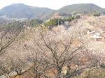 桜山と言うこともあり、一面冬桜です。勾配が、かなり急です。