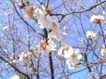 ここの冬桜は、花の数は少ないものの春に咲くものと比べても、大きさでは遜色ありません。