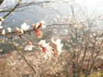 桜は、今週一杯が見ごろ。そろそろ散り始めております。興味のある方はお急ぎを。