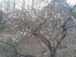 白加賀です。これが一番咲いているほう。