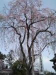 門の前にあるしだれ桜