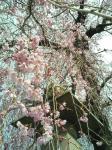 しだれ桜って優美なので、ソメイヨシノや山桜よりすきかも。