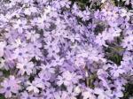 芝桜も、紫のものもあります。